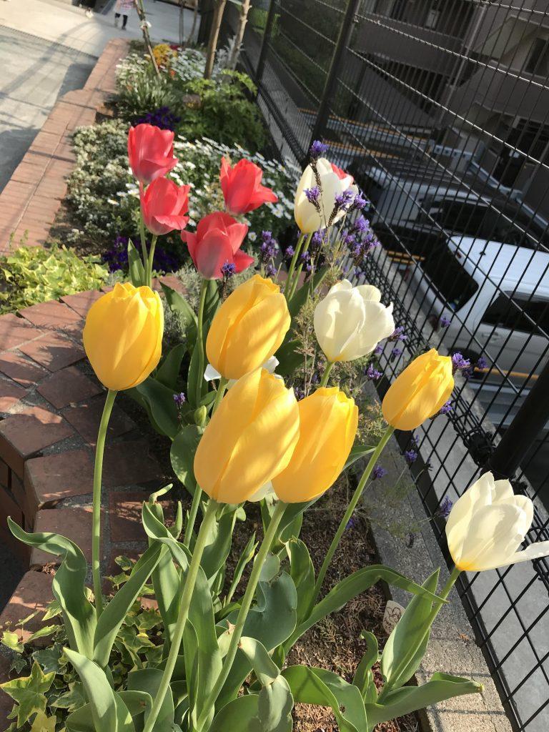 園の花壇のチューリップ