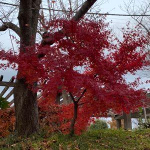 やまた幼稚園紅葉